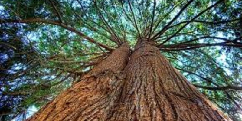 Chất liệu bảo quản xì gà tốt nhất: gỗ tuyết tùng